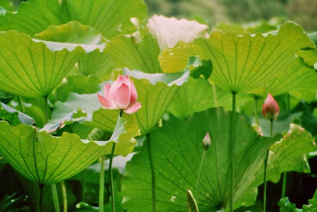 die Reinheit und Klarheit Lotusblume und ihrer großen Blätter symbolisieren das Ziel der Meditation.