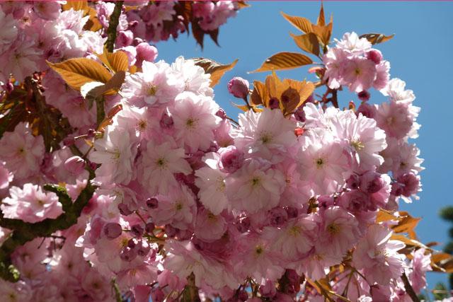 Kischblüte vor blauem Himmel wie die Pflege des Qi