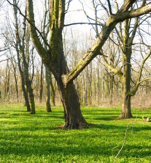 Bäume im Plänter Wald in Berlin, aufrecht und gerade Struktur, stabil wie die Struktur im Taijiquan und Qigong.