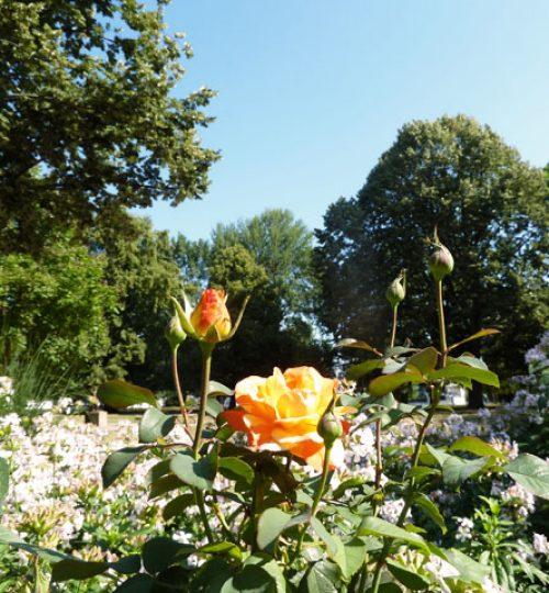 Der Berliner Rosengarten inmiten von Bäumen und schöner Natur direkt an der Spree., ideal für Gesundheits- und Kampfkunst-Training.