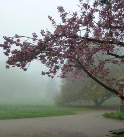 Mystische Kirschblüte im Nebel weist den Weg in die Geheimnisse des Qigong und Taijiquan (Tai Chi).