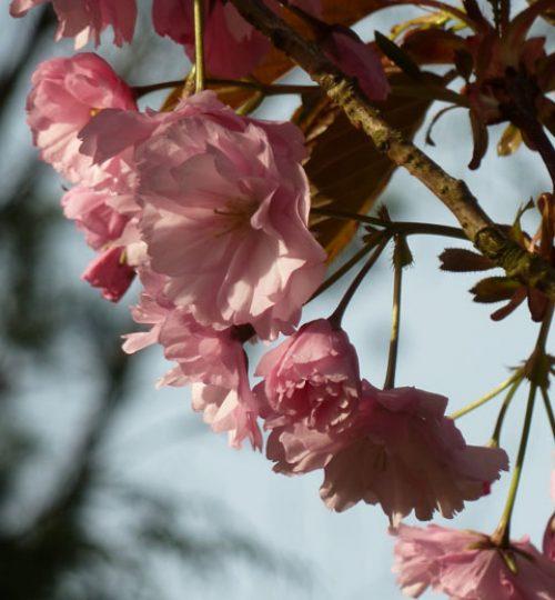 Zarte Kirschblüten wie das sanfte Training von Qigong, Taijiquan und Meditation.