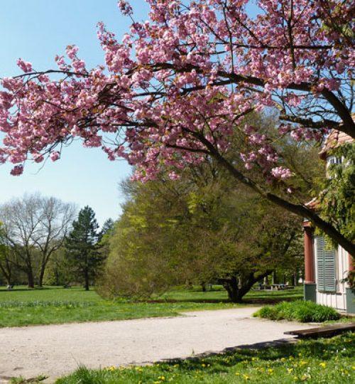 Qigong,Tai Chi (Taiji) Trainingsplatz in den Schillerwiesen mit blühendem Kirschbaum, blauem Himmel und grüner Wiese..