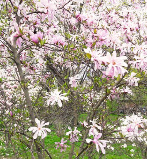 Die Ästhetik der Magnolien gleicht den chinesischen Gesundheits- und Kampfkünsten.